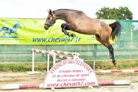 Chevaux A vendre Smashing du Fleuve Z